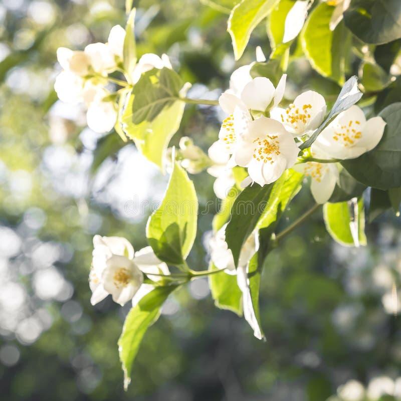 Fondo botánico exótico tropical floral natural con las flores Jardiner?a Una rama del jazmín blanco fragante floreciente delicado foto de archivo