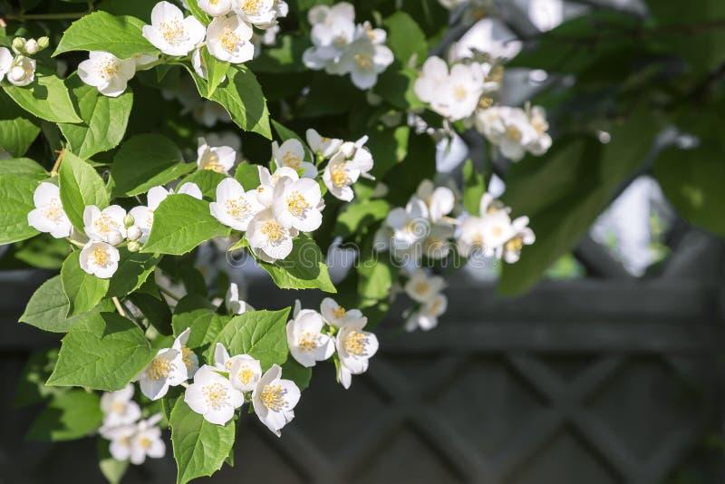 Fondo botanico esotico tropicale floreale naturale con i fiori Giardinaggio Un ramo del gelsomino fragrante bianco di fioritura d fotografia stock libera da diritti