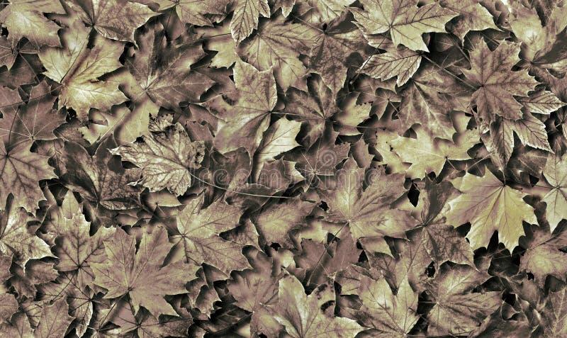 Fondo caduto di struttura delle foglie di acero di autunno Rebecca 36 Vista superiore fotografia stock libera da diritti