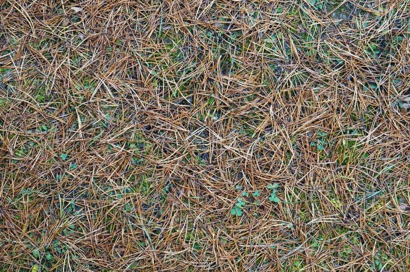 Fondo caido de las agujas del pino del otoño foto de archivo libre de regalías