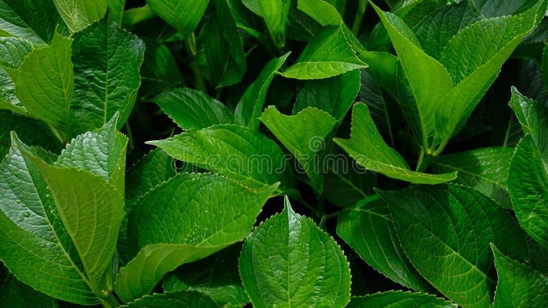Fondo cereo verde delle foglie, struttura naturale di grande fogliame della foglia immagini stock