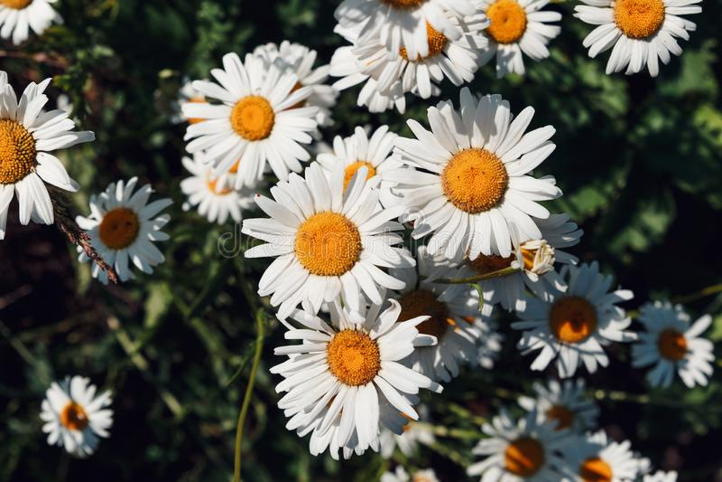 Fondo colorido del verano de las flores de la margarita blanca E Fondo hermoso de la naturaleza Vista macra del na abstracto foto de archivo libre de regalías