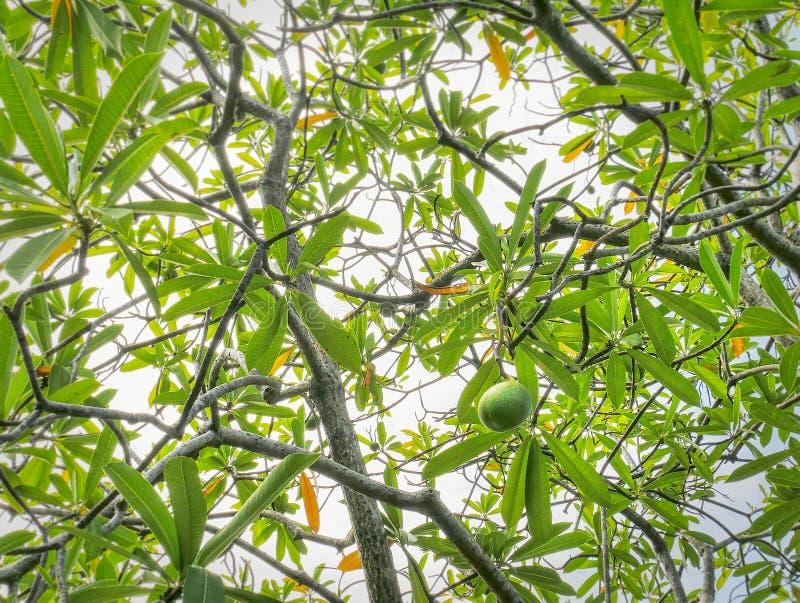 Fondo completo del marco de la opinión de ángulo bajo de la fruta verde en el árbol foto de archivo libre de regalías