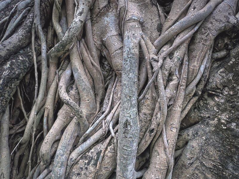 Fondo completo della struttura di grandi radici dell'albero di banyan immagini stock libere da diritti