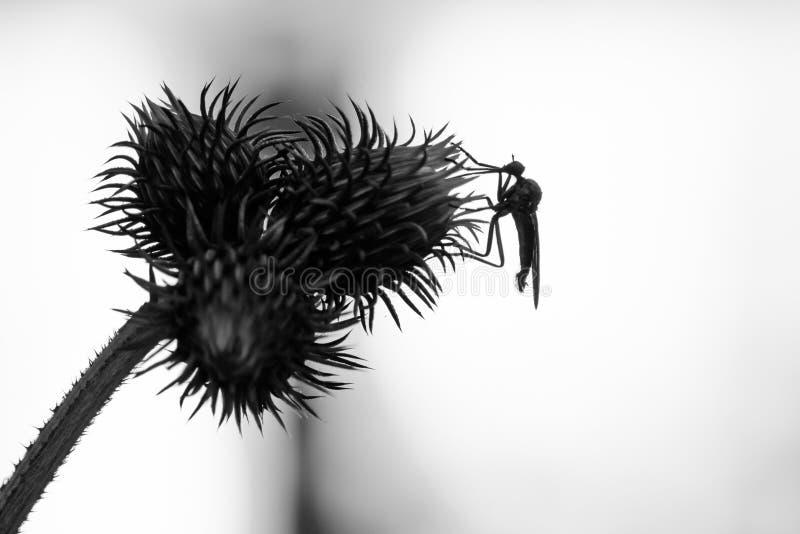 Fondo con el cardo y el insecto en blanco y negro Insecto ov libre illustration