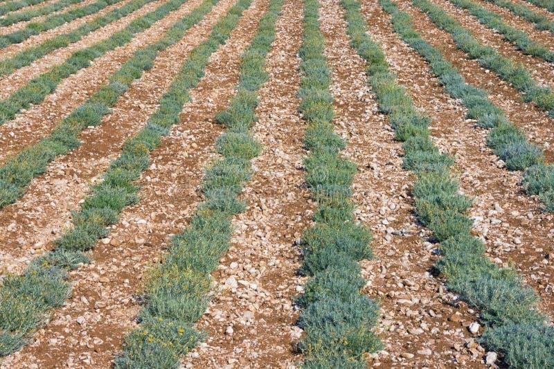 Fondo con filas verdes de la hierba Campo de las plantas del immortele imagen de archivo libre de regalías
