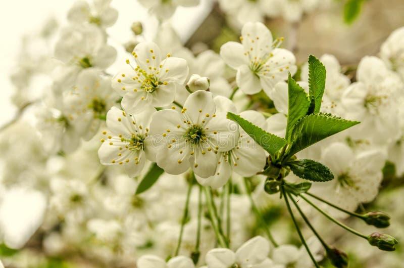 Fondo con i fiori delicati di un ciliegio fotografie stock