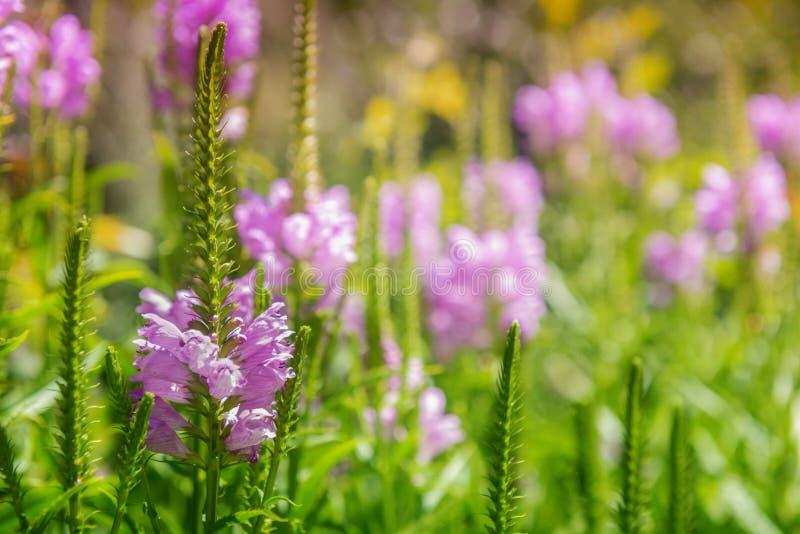 Fondo con il fiore rosa al prato di fioritura immagini stock libere da diritti