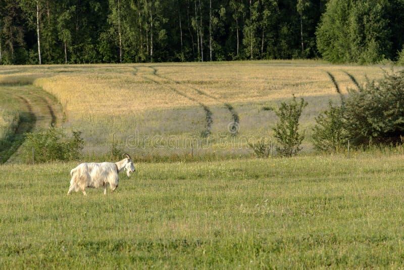 Fondo con la cabra blanca de granja en granja orgánica sostenible con los campos verdes debajo del cielo azul imagenes de archivo