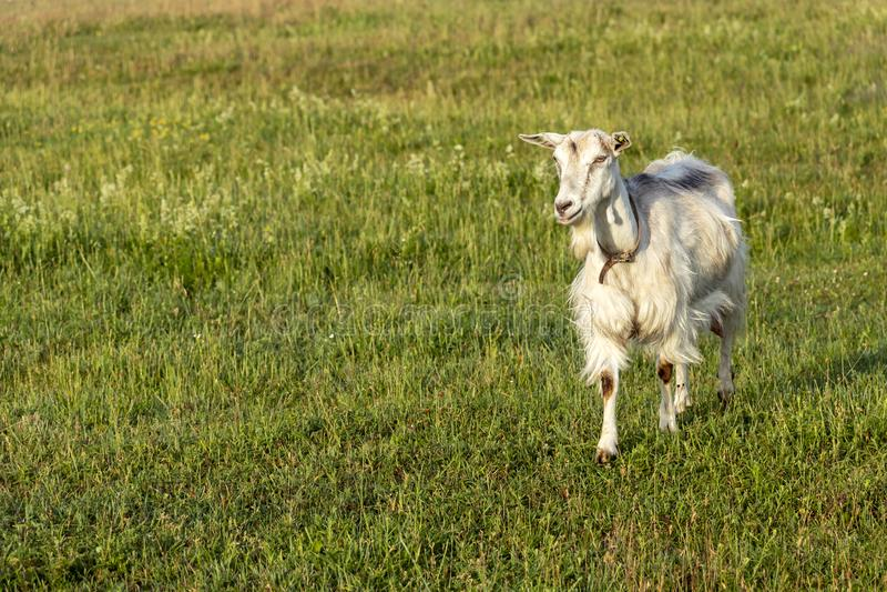Fondo con la cabra femenina blanca en granja orgánica sostenible con los campos verdes debajo del cielo azul imagenes de archivo