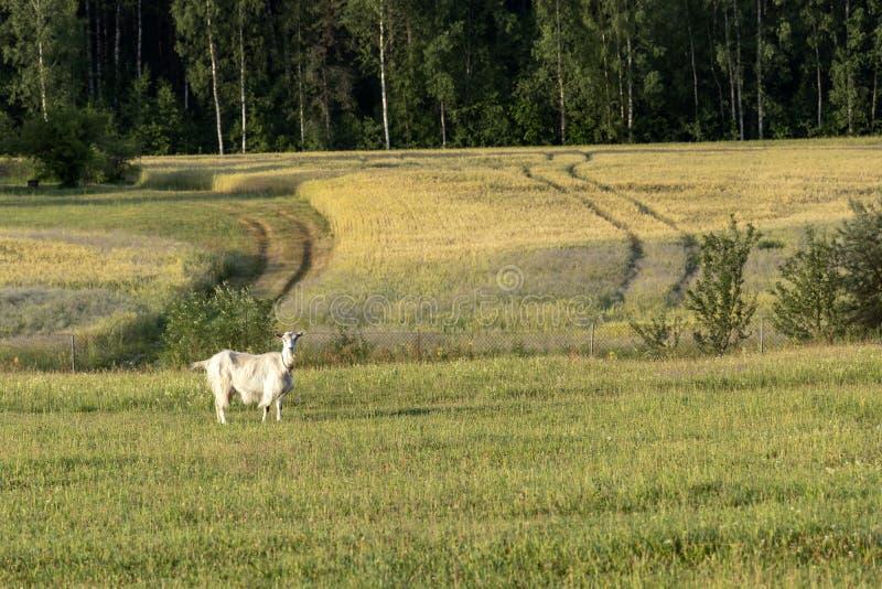 Fondo con la cabra femenina blanca en granja orgánica sostenible con los campos verdes debajo del cielo azul imágenes de archivo libres de regalías