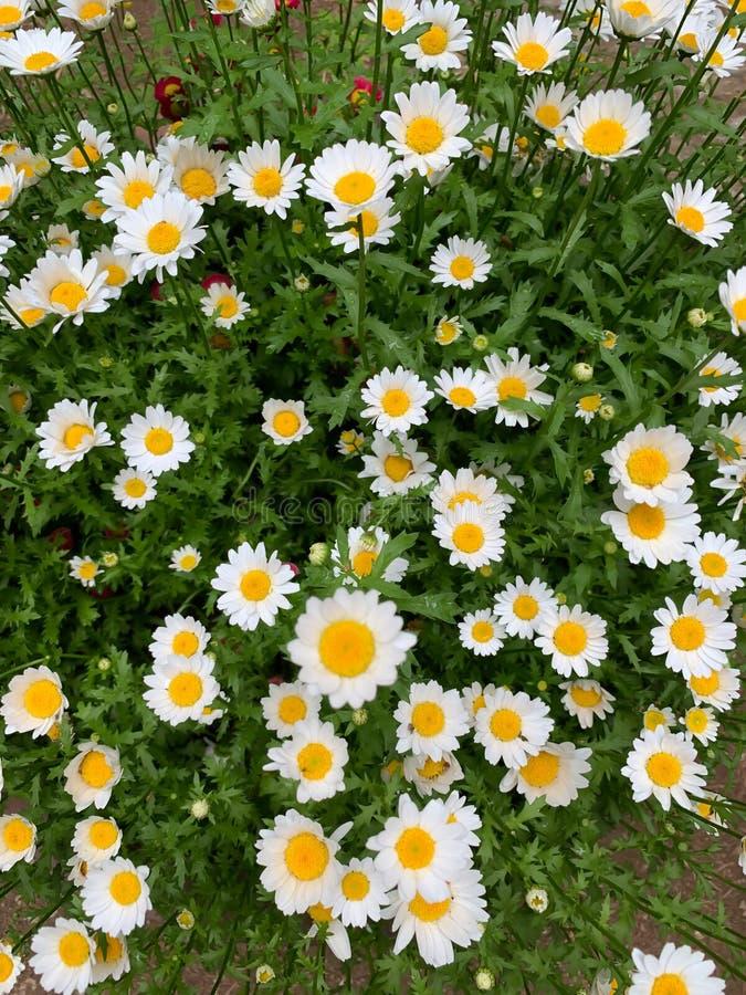 Fondo con las flores blancas y la calzada fotografía de archivo libre de regalías