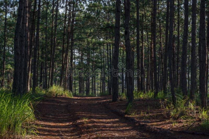 Fondo con las pistas del bosque y de senderismo del pino en la parte 12 del bosque foto de archivo libre de regalías
