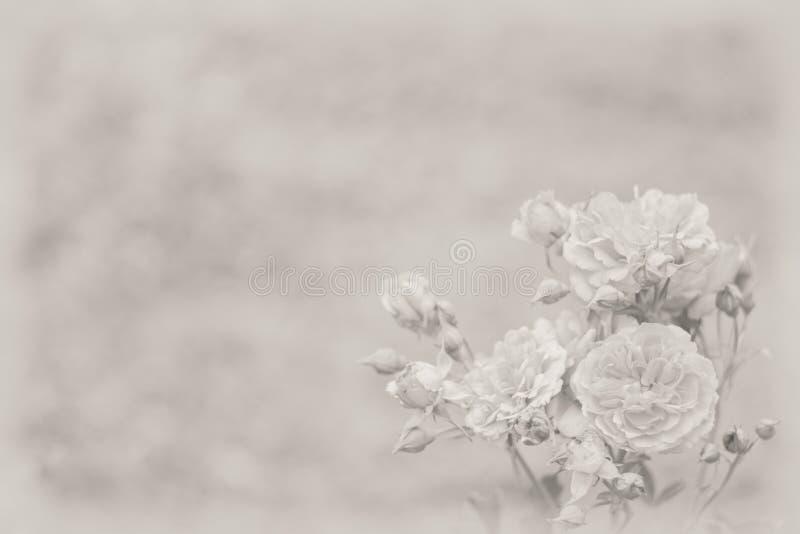 Fondo con las rosas ligeras fotos de archivo