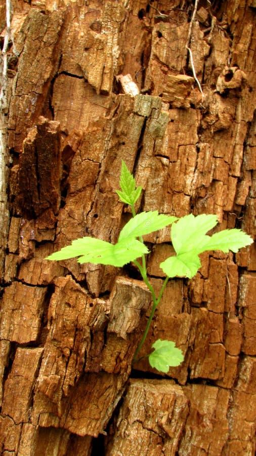Fondo con le tonalità marroni e grige di vecchio tronco degli alberi e delle piante immagini stock libere da diritti