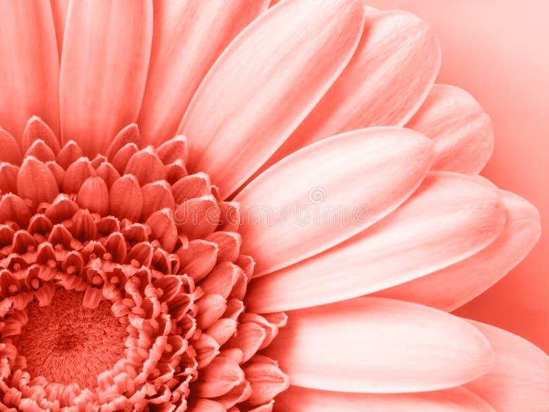 Fondo coralino de vida del color con el cierre encima de la flor, color de los 2019 años fotos de archivo libres de regalías