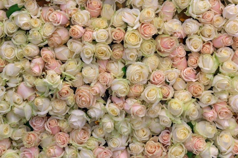Fondo da varie crema e rose rosa immagini stock