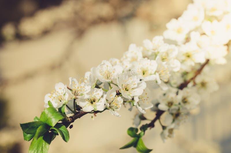 Fondo dai rami di di melo con i fiori bianchi/giorno soleggiato Bello frutteto primavera Piovuto appena sopra fotografia stock