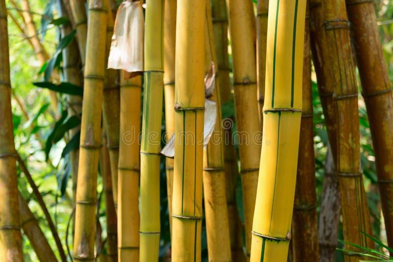 Bosque de bambú amarillo imagen de archivo