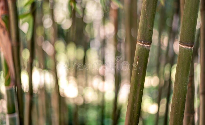 Fondo de bambú del bosque fotografía de archivo libre de regalías