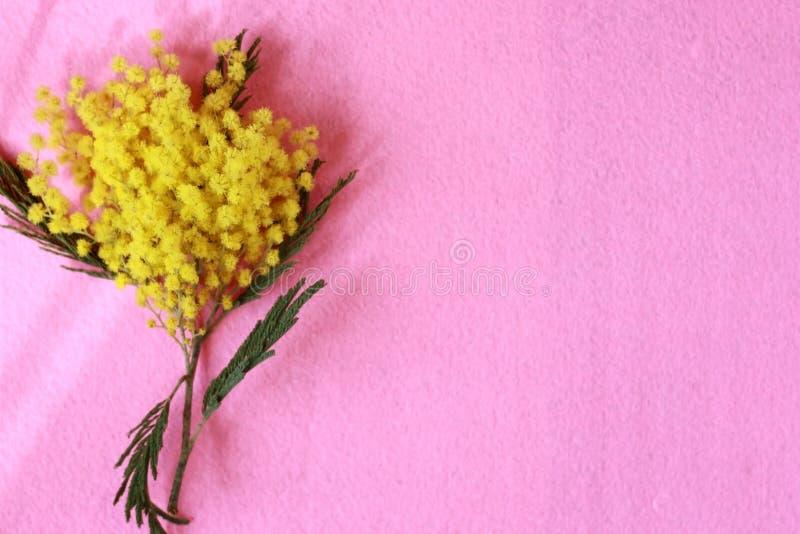 Fondo de flores hermosas de la mimosa de la primavera en un fondo rosado del fieltro Lugar para el texto imagen de archivo