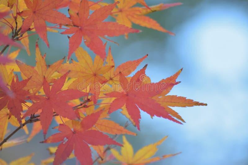 Fondo de hojas de arce japonesas coloreadas vibrantes con el fondo borroso imágenes de archivo libres de regalías