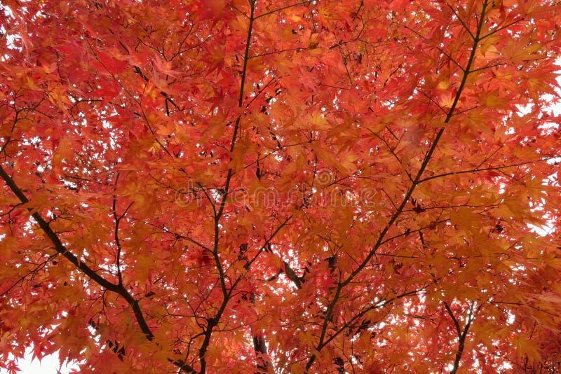 Fondo de hojas de arce japonesas coloreadas vibrantes con el fondo borroso fotos de archivo libres de regalías