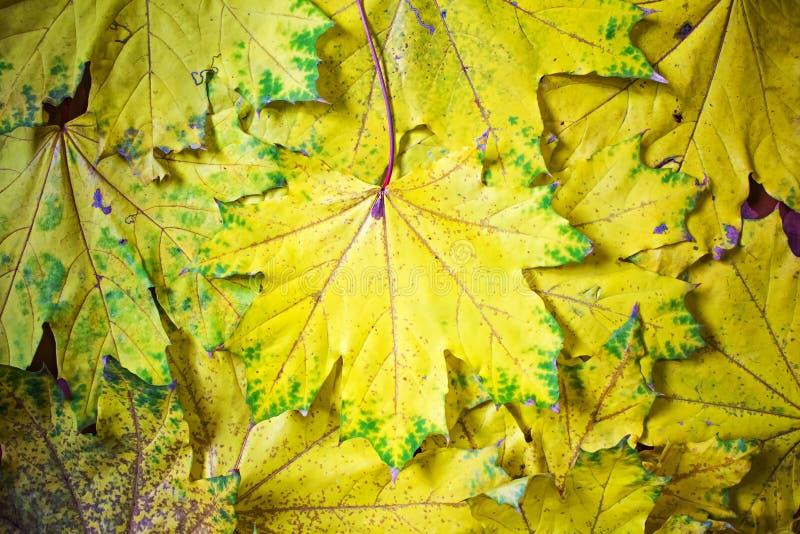 Fondo de hojas de arce amarillas, abstracción del otoño, papel pintado imágenes de archivo libres de regalías