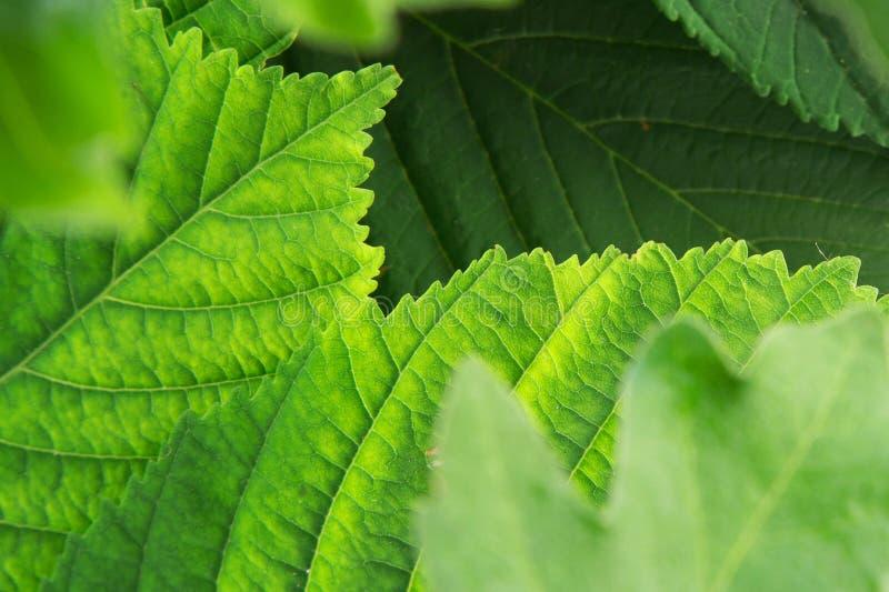 Fondo de hojas verdes frescas imagenes de archivo