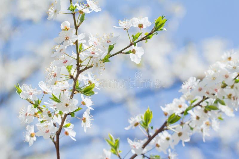Fondo de la cereza del flor de la primavera de las flores blancas y rosadas fotos de archivo