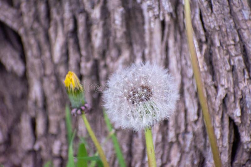 Fondo de la corteza de árbol de la flor del diente de león fotos de archivo