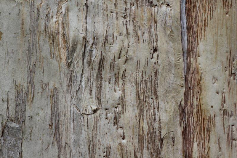 Fondo de la corteza de árbol de eucalipto imagenes de archivo