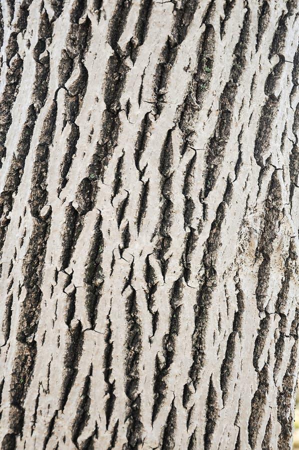 Fondo de la corteza de árbol de nuez imagenes de archivo