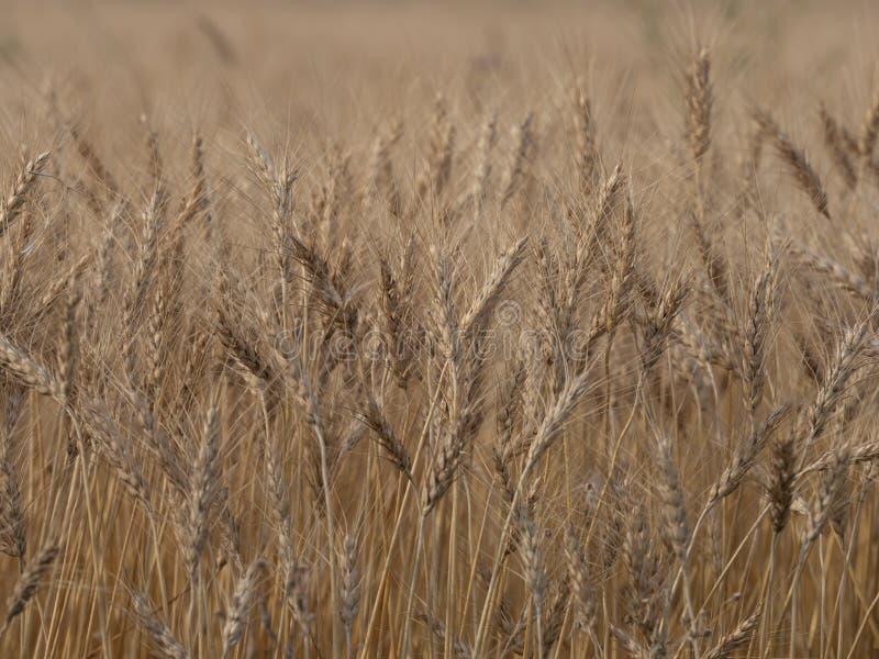 Fondo de la cosecha de la cebada imagen de archivo libre de regalías
