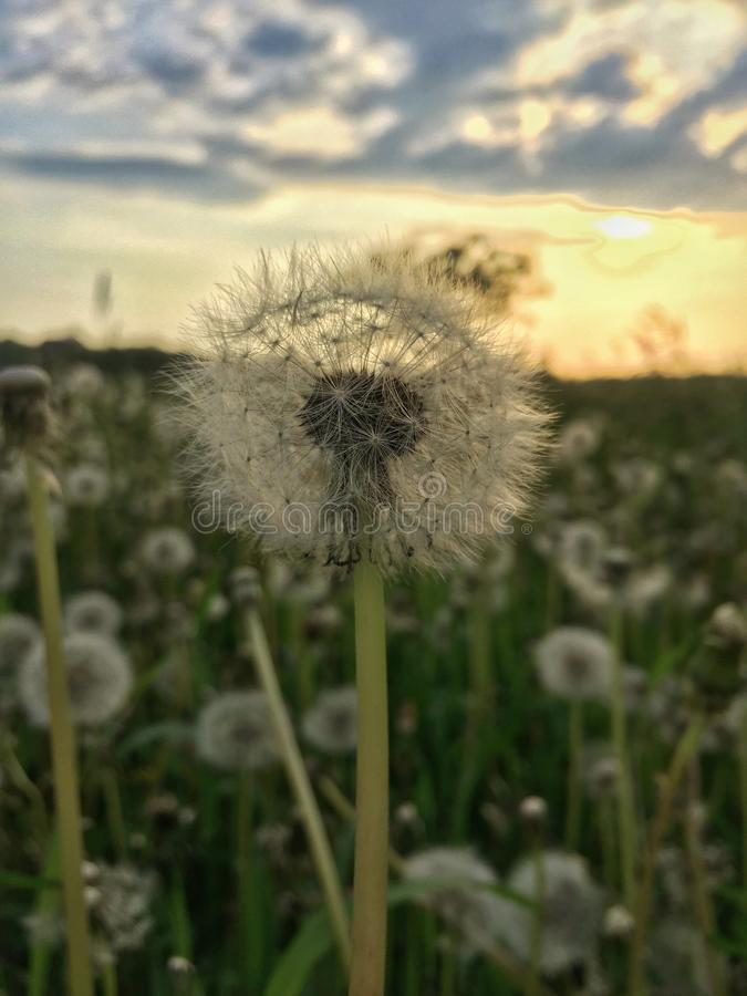 fondo de la falta de definición del blowball y de la puesta del sol foto de archivo libre de regalías
