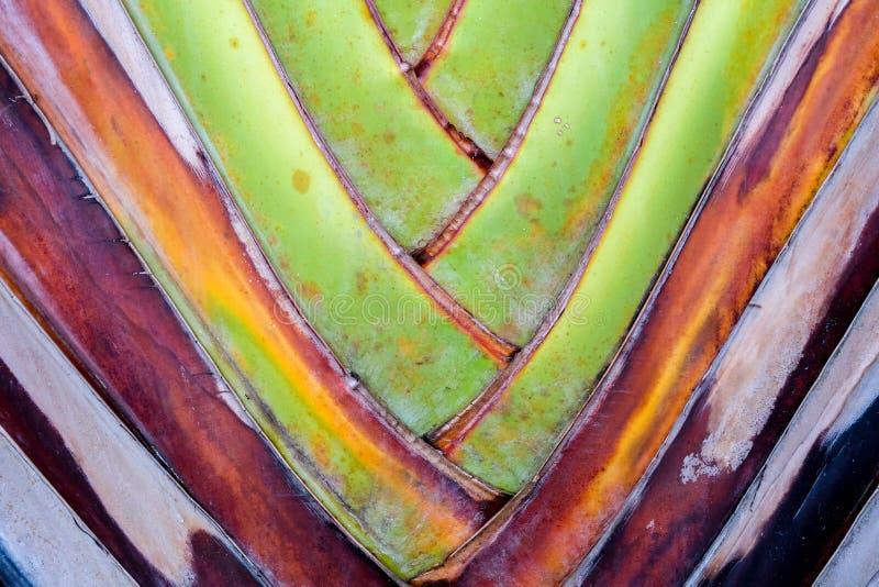 fondo de la fan del plátano del detalle del modelo de la textura fondo de hoja de palma en modelo de la armadura de la naturaleza fotografía de archivo libre de regalías