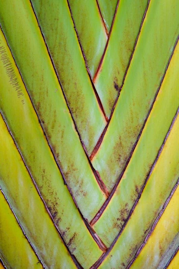 fondo de la fan del plátano del detalle del modelo de la textura fondo de hoja de palma en modelo de la armadura de la naturaleza foto de archivo