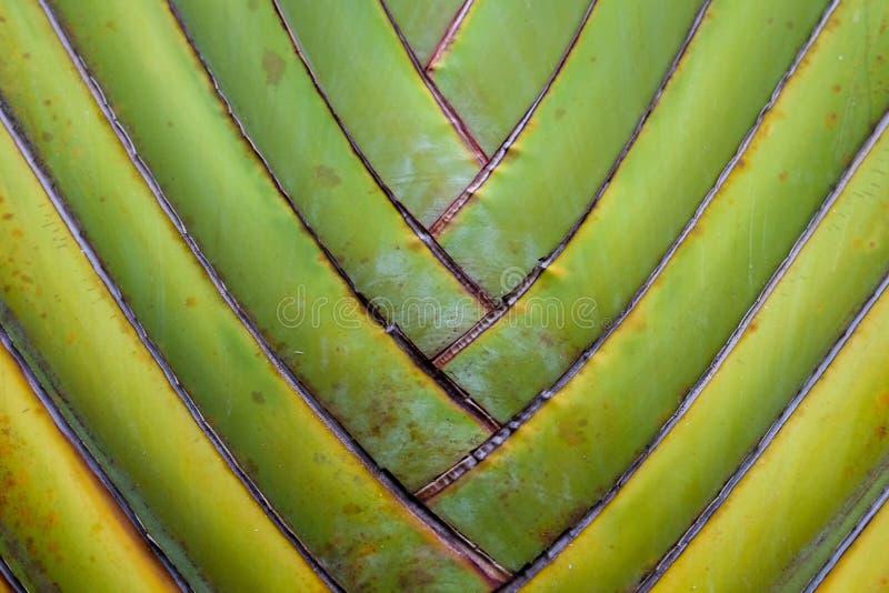 fondo de la fan del plátano del detalle del modelo de la textura fondo de hoja de palma en modelo de la armadura de la naturaleza imagen de archivo libre de regalías