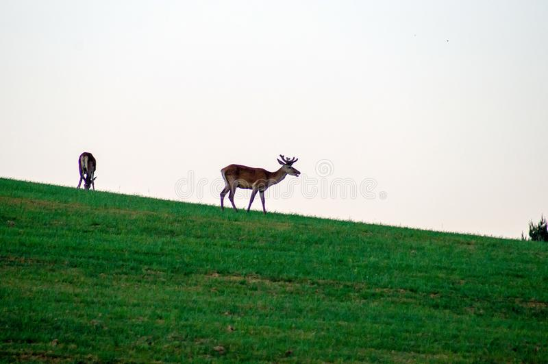 Fondo de la fauna Ciervos en prado verde Cielo gris Astas crecientes Ciervos en el horizonte imágenes de archivo libres de regalías