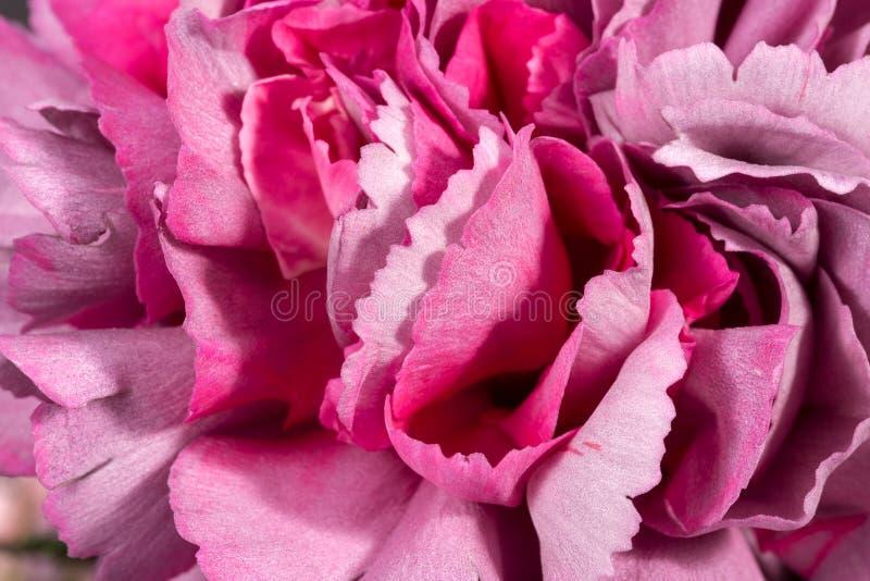 Fondo de la flor del clavel del clavel, p?talos delicados, cierre para arriba fotografía de archivo libre de regalías
