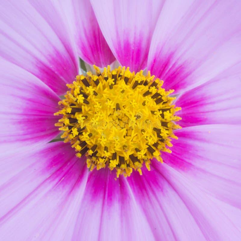 Fondo de la flor del cosmos foto de archivo