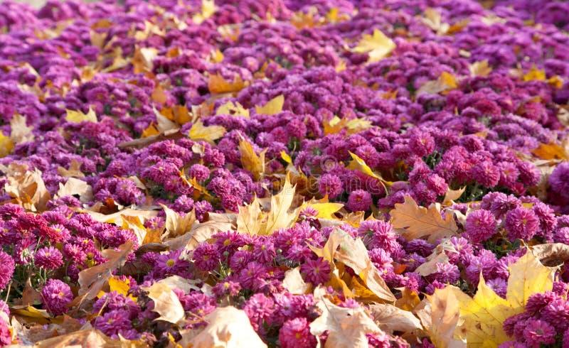 Download Fondo De La Flor Del Crisantemo Foto de archivo - Imagen de jardín, hermoso: 7285464
