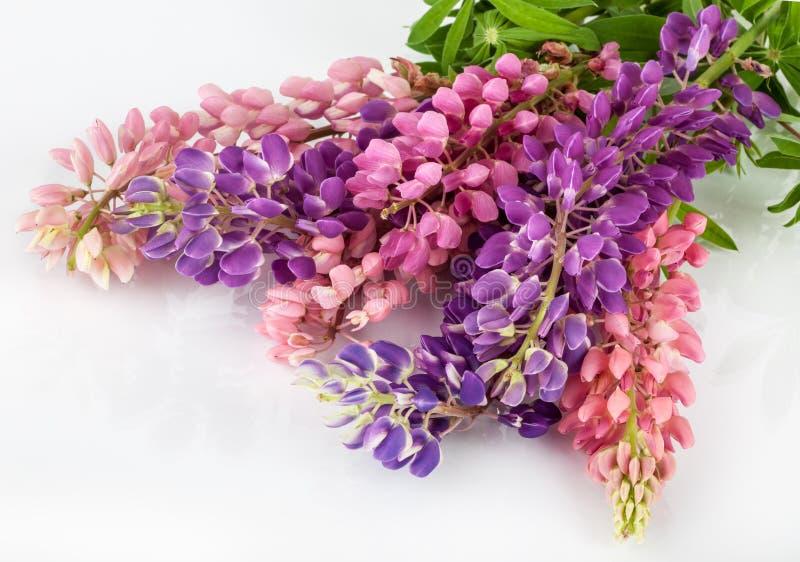 Fondo de la flor del Lupinus altramuz imagenes de archivo