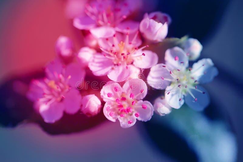 Fondo de la foto de las flores blancas hermosas de una manzana fotos de archivo