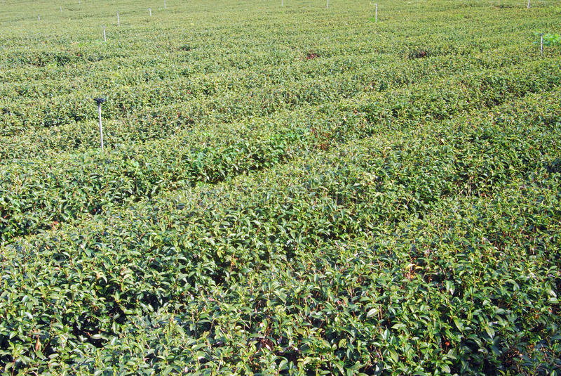 Fondo de la granja del té. fotografía de archivo