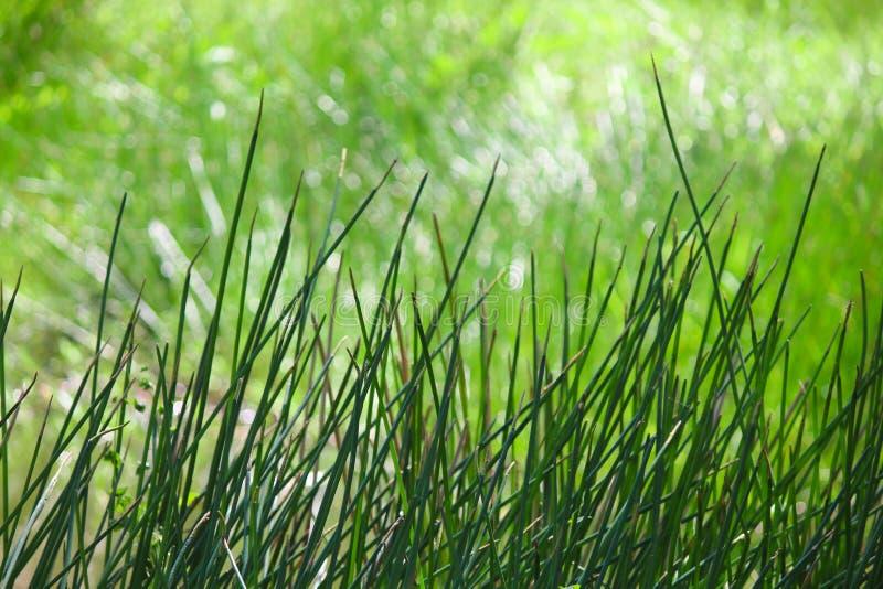 Fondo de la hierba verde fotografía de archivo libre de regalías