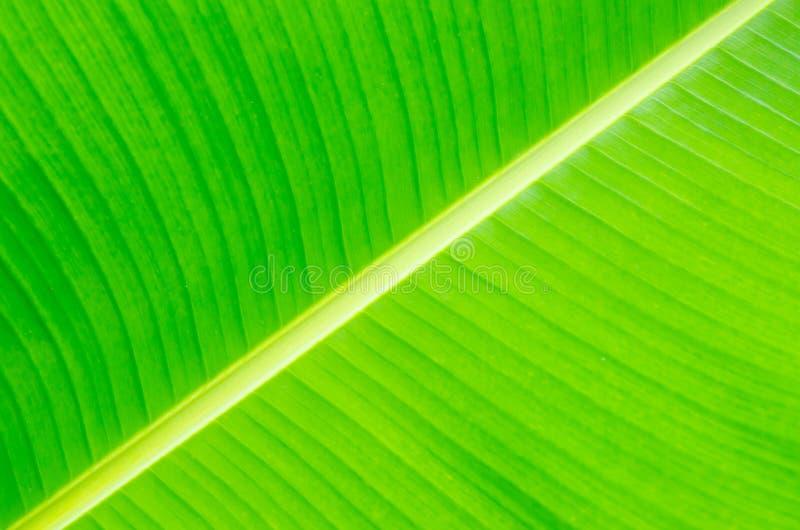 Download Fondo De La Hoja Del Plátano Con Las Líneas Imagen de archivo - Imagen de verde, ramificación: 42434415