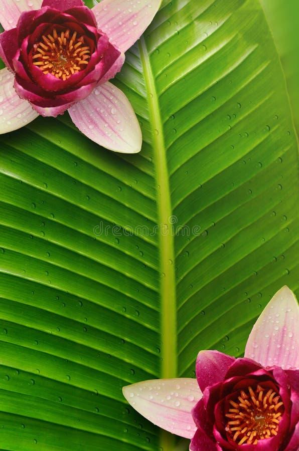 Fondo de la hoja de Lotus y loto de la flor fotos de archivo