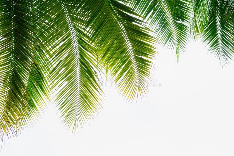 Fondo de la hoja de palma verde del coco en el fondo blanco del cielo fotografía de archivo libre de regalías