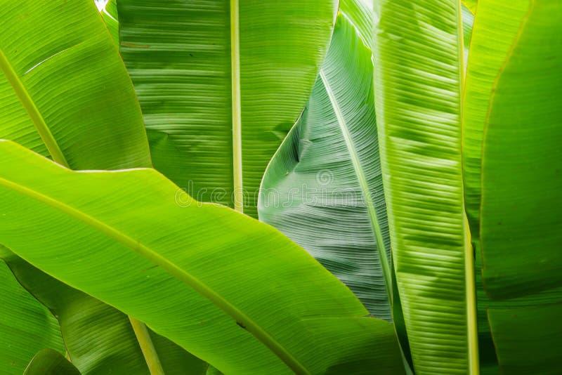 Fondo de la hoja verde del plátano en jardín foto de archivo libre de regalías